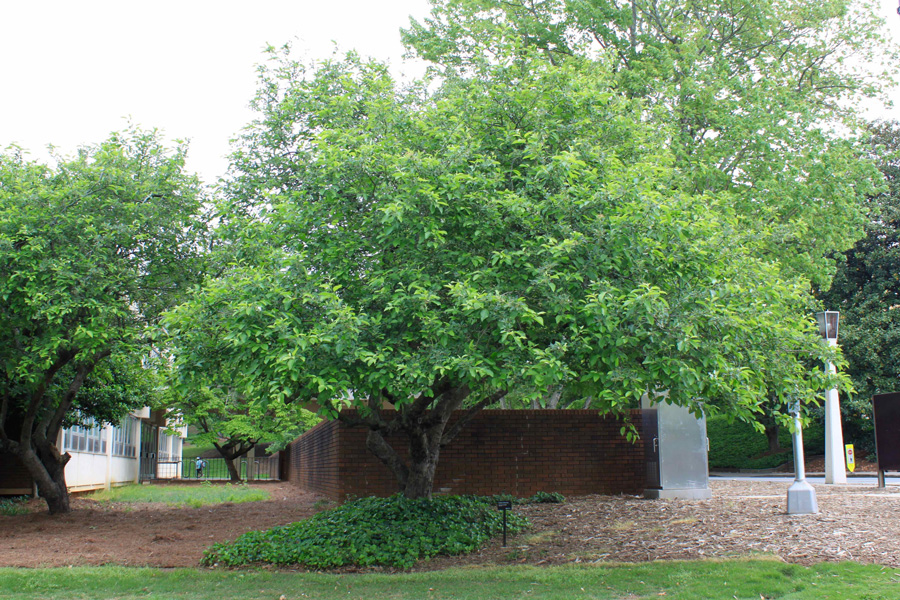 A crabapple tree in front of a brick wall