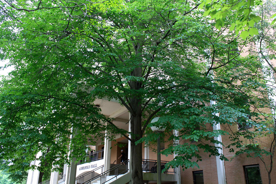 A little leaf linden tree in front of a building